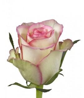 Հոլանդական վարդ  Brocante  70-80 սմ