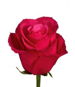 Հոլանդական վարդ  Fana 70-80  sm