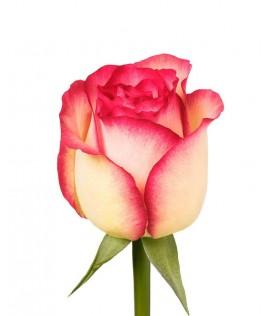 Հոլանդական վարդ Jumilia 60-70սմ