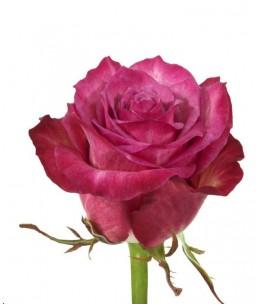 Հոլանդական վարդ Love 70-80  Սմ