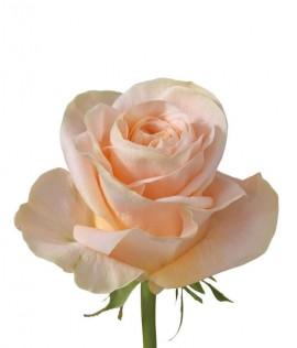 Հոլանդական վարդ  Peach Avalanche 70 Սմ