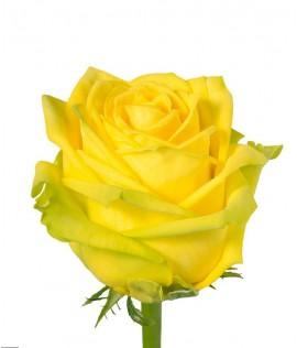 Հոլանդական վարդ Penny Lane 70-80 սմ