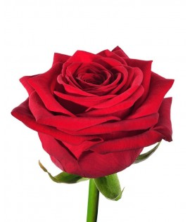 Հոլանդական վարդ  Red Naomi, 70-80 սմ