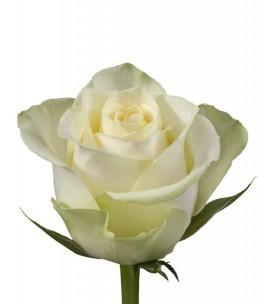 Հոլանդական վարդ Dolomiti   70-80  սմ